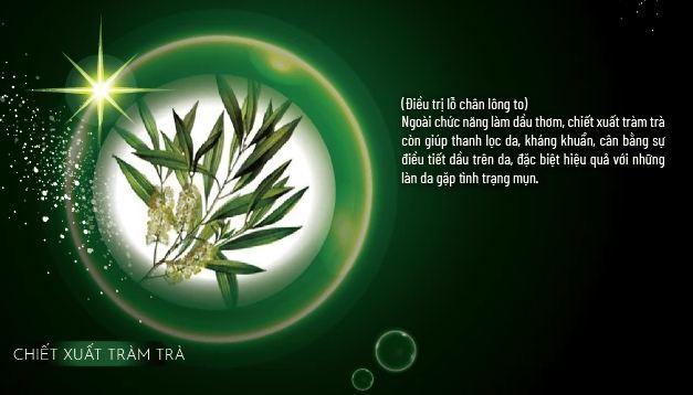 Chiết xuất tràm trà